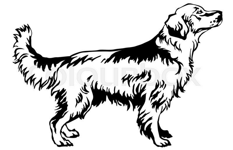 799x514 Decorative Portrait Of Standing In Profile Dog Golden Retriever