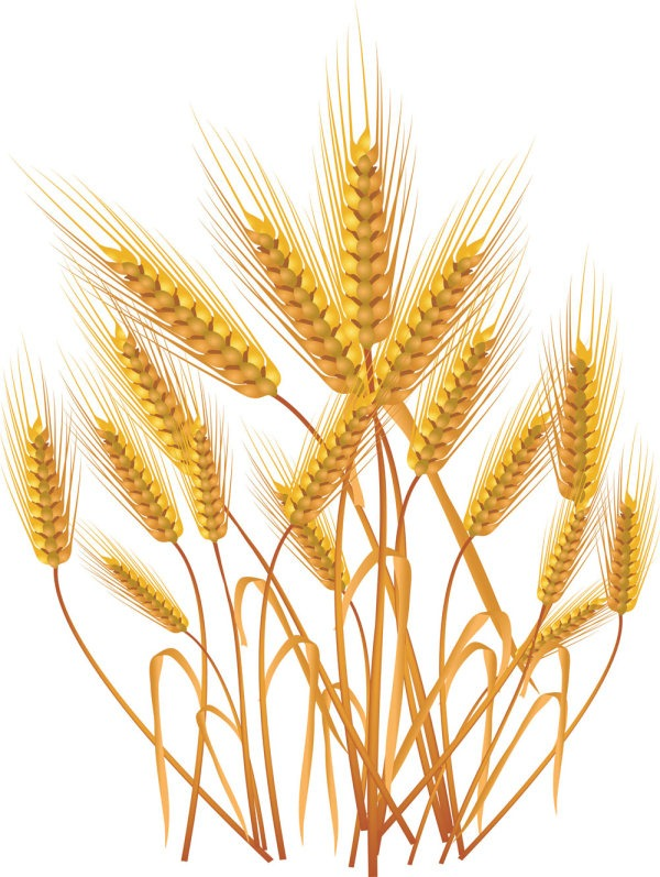 600x797 Grains Clipart Yellow Wheat ~ Frames ~ Illustrations ~ Hd Images