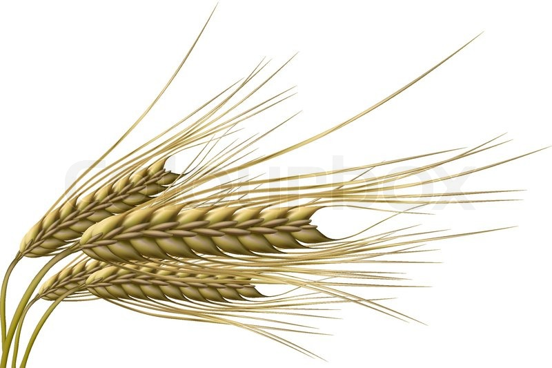 800x533 Illustration Of Wheat Grain On Isolated Background Stock Vector