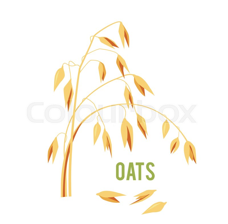 800x785 Oats Cereals Grain. Vector Illustration Isolated On White