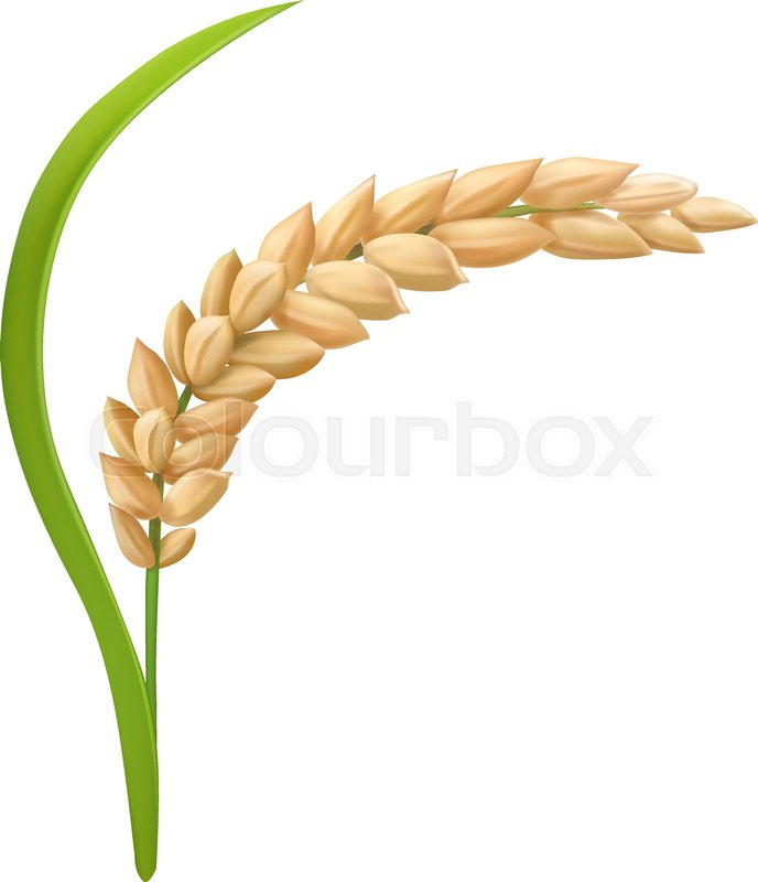 688x800 Rice Realistic Spikelets With Grains. Vector Illustration. Stock