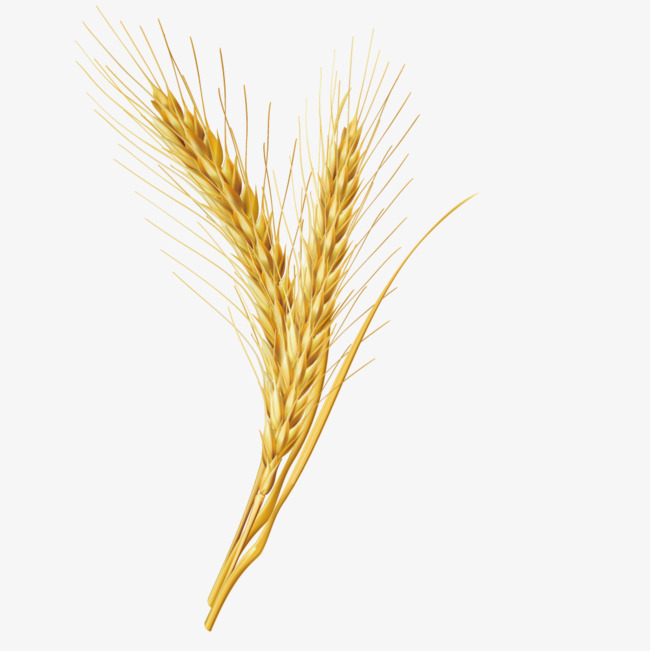 650x651 Vector Wheat Grains, Seed, Cereals, Grains Png And Vector For Free