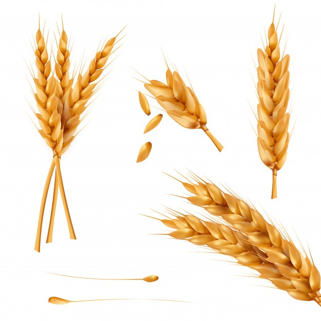 626x626 Wheat Grain Vectors, Photos And Psd Files Free Download