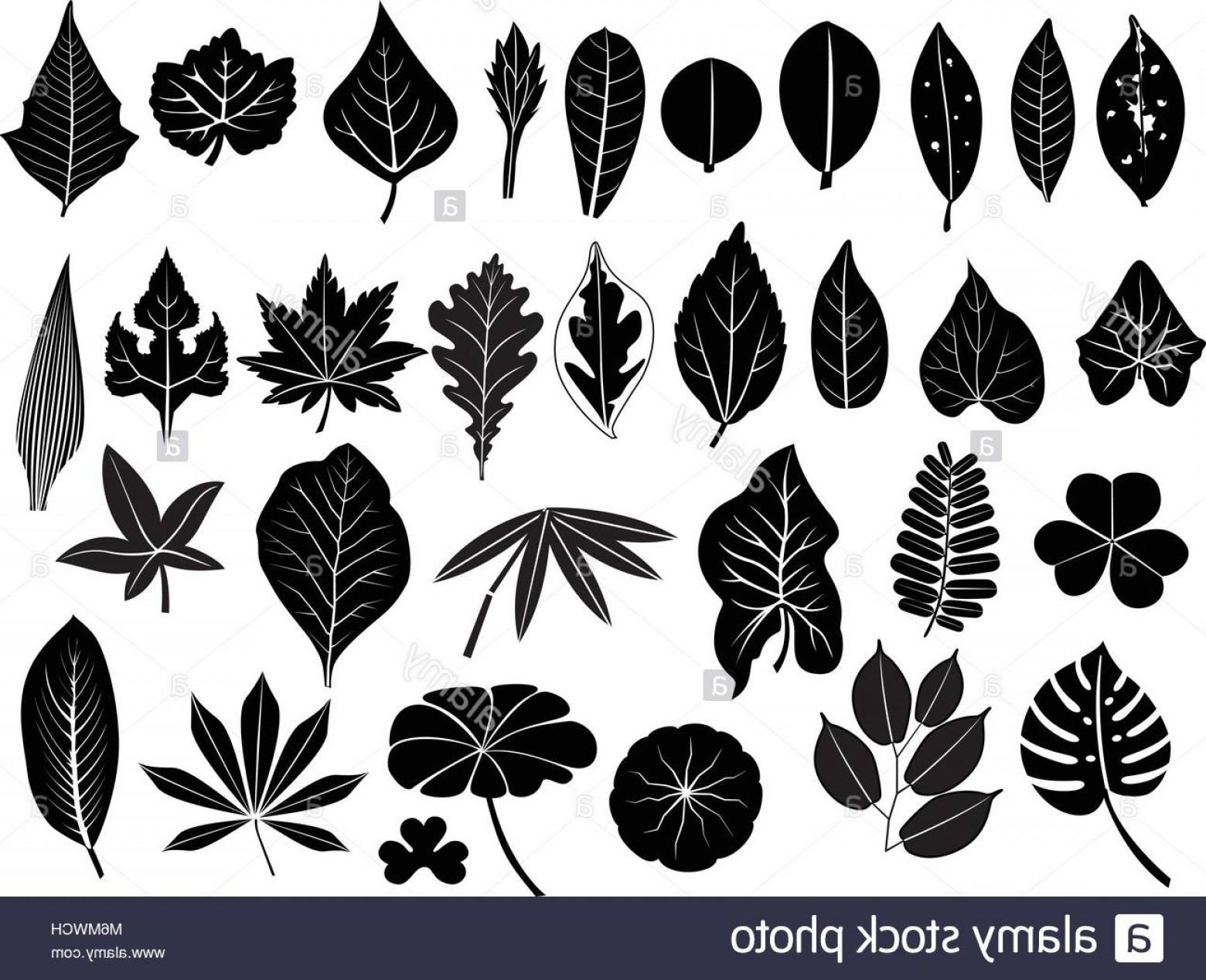 1560x1268 Stock Photo Silhouette Leaves Vector Set Grape Acacia Fern Elm