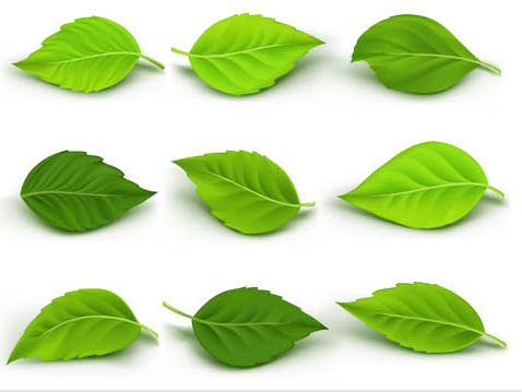 478x359 Green Leaves Vector Ai Format Free Vector Download