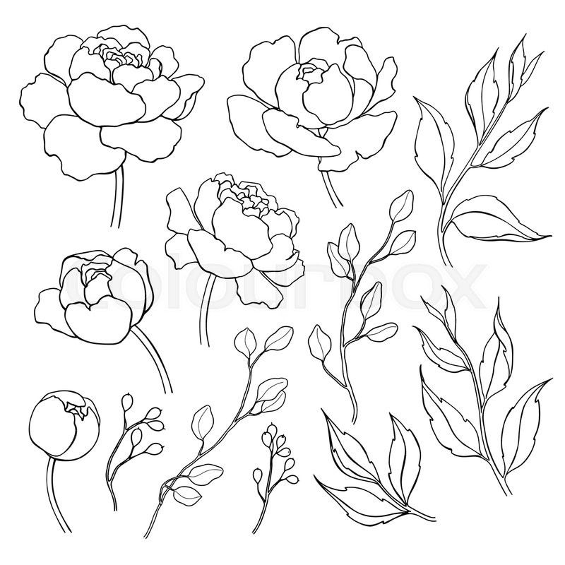 800x800 Peony Flower And Leaves Line Drawing. Vector Hand Drawn Outline
