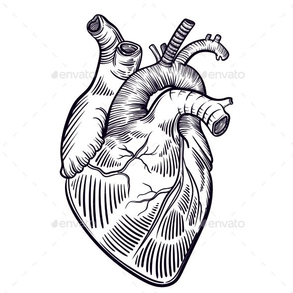 590x590 Human Heart