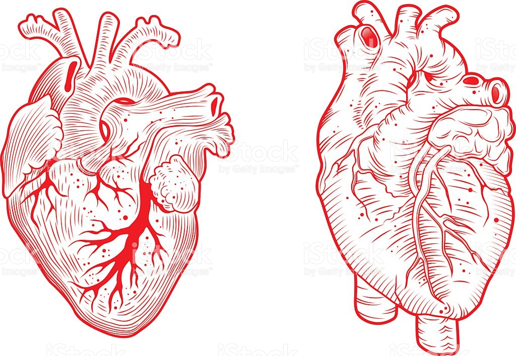 1024x708 Anatomy Heart Vector Anatomical Hearts Line Art Illustration