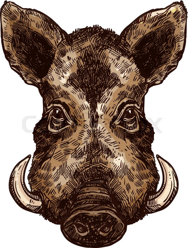 605x800 Boar, Wild Pig Animal Sketch. Hog Or African Warthog Head Isolated