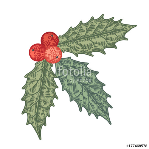 500x500 Hand Drawn Holly Berry Vector Illustration. Stock Image And