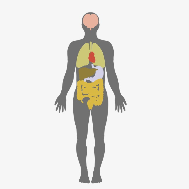 650x650 Human Body, Human Vector, Body Vector, Vector Png And Vector For