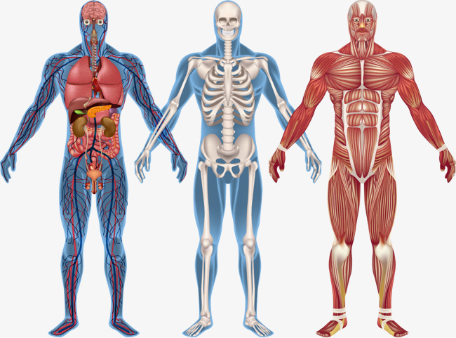 650x481 Human Body Png, Vectors, Psd, And Clipart For Free Download Pngtree