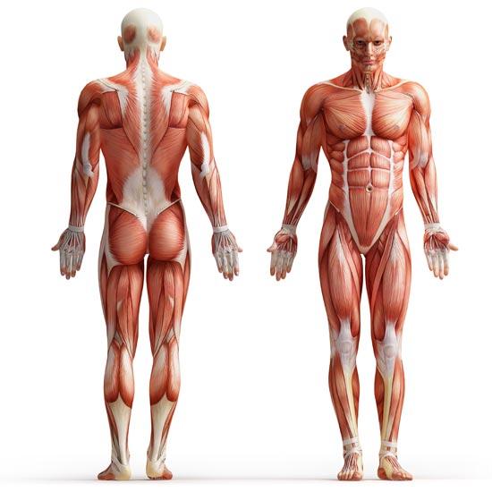 550x550 Human Anatomy Images
