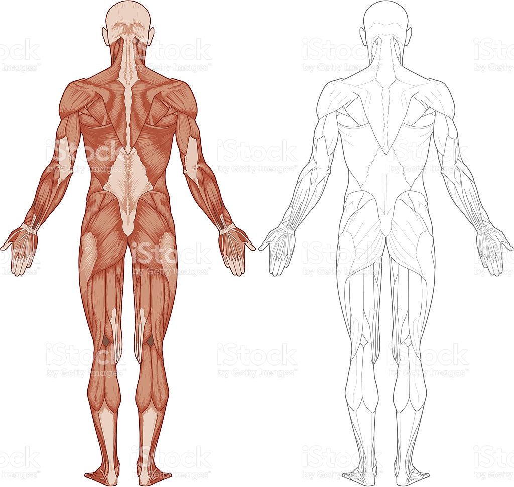 Human Anatomy Vector At Getdrawings Free For Personal Use