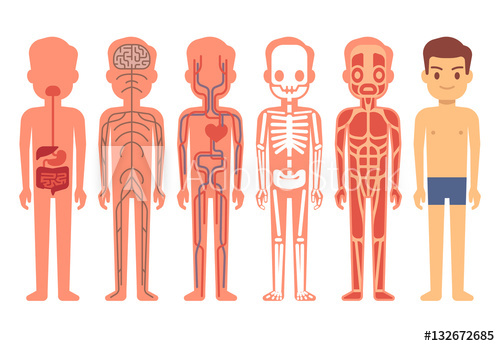 500x346 Human Body Anatomy Vector Illustration. Male Skeleton, Muscular