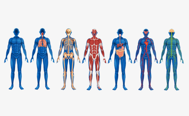 650x400 Vector Human Anatomy, Vector, Human Body, Structure Png And Vector