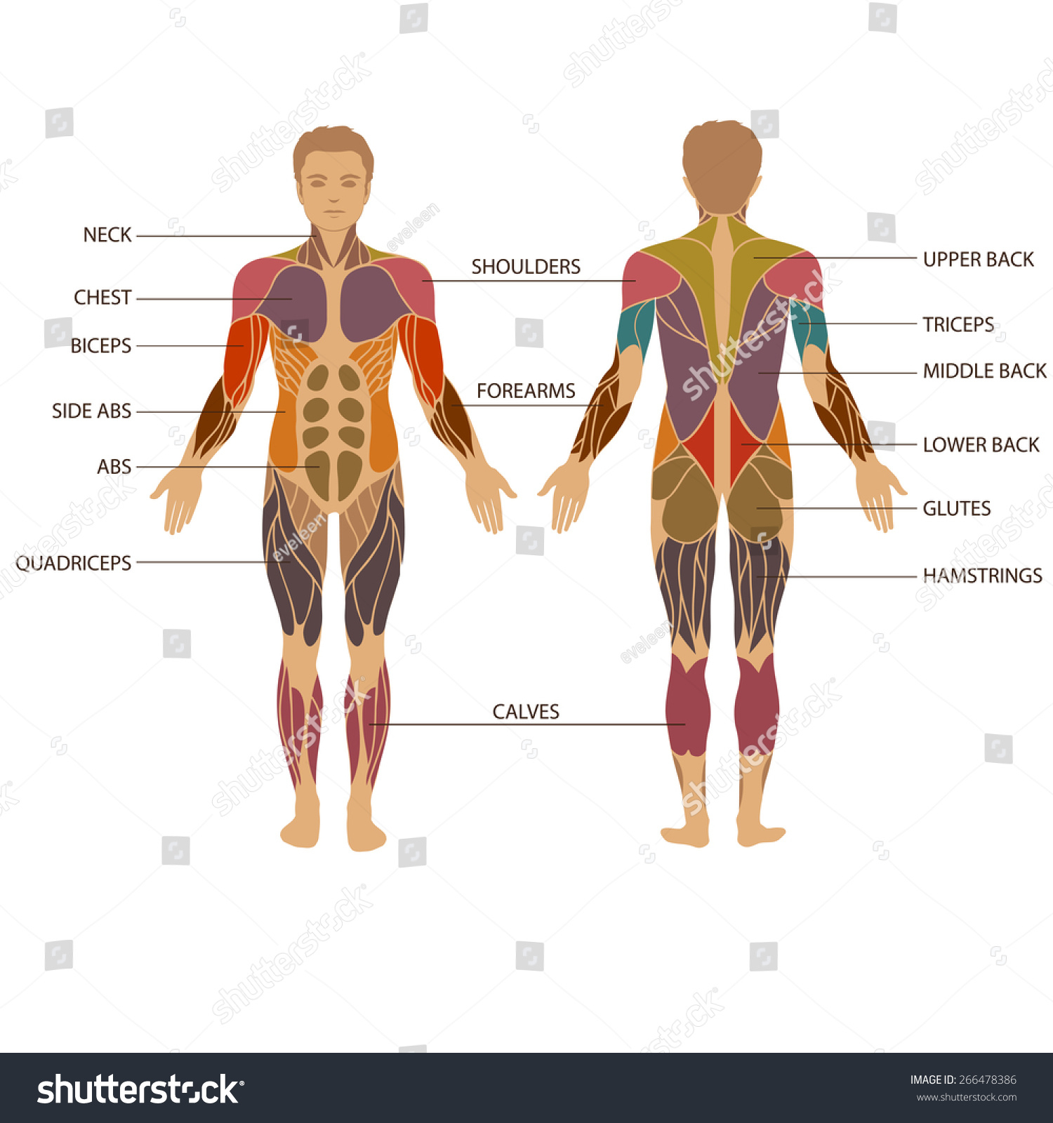 1500x1600 Muscle Image In Human Body Vector Muscular Human Body Muscle Man