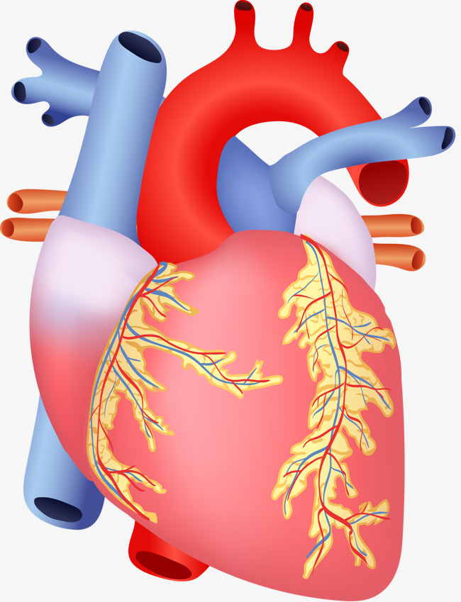 650x849 Human Heart, Human Vector, Heart Vector, Decoration Png And Vector