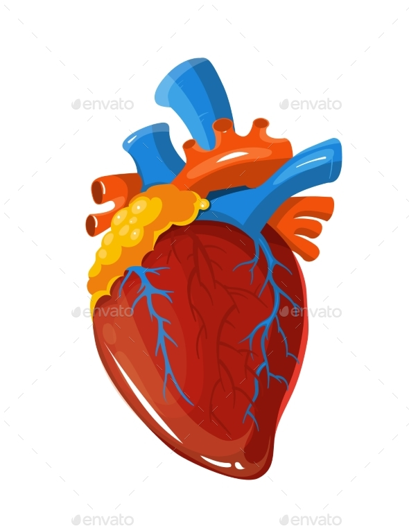 590x759 Human Heart Anatomy Vector Medical Illustration By Microvone