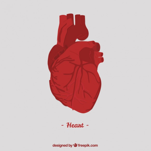 626x626 Human Heart Vector Free Download