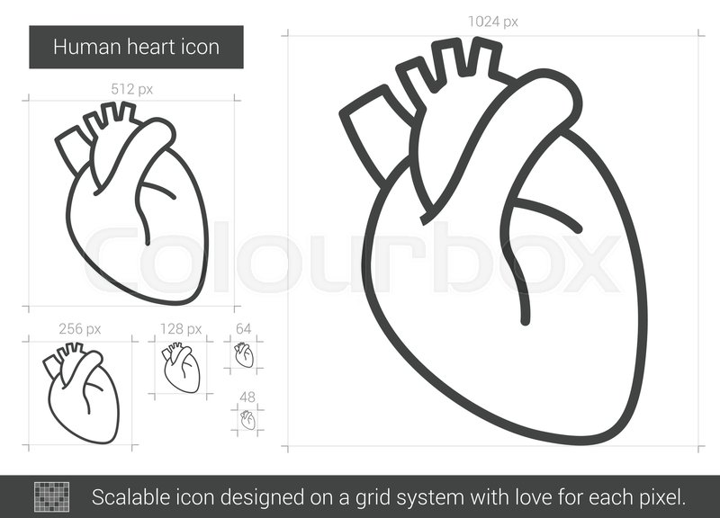 800x576 Human Heart Vector Line Icon Isolated On White Background. Human