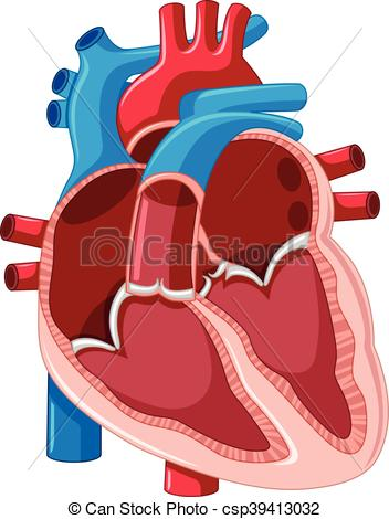 352x470 Diagram Showing Inside Of Human Heart Illustration.
