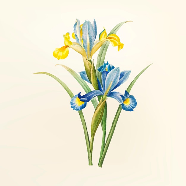 626x626 Iris Flower Vectors, Photos And Psd Files Free Download