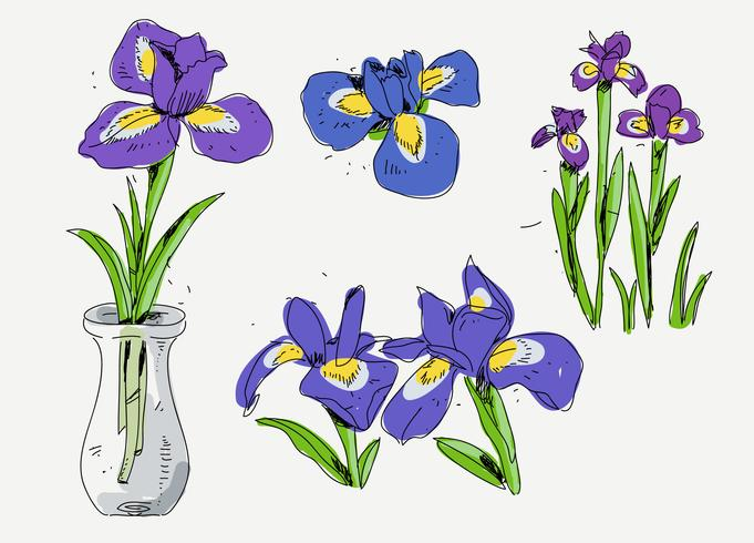 681x490 Iris Flower Hand Drawn Sketch Vector Illustration