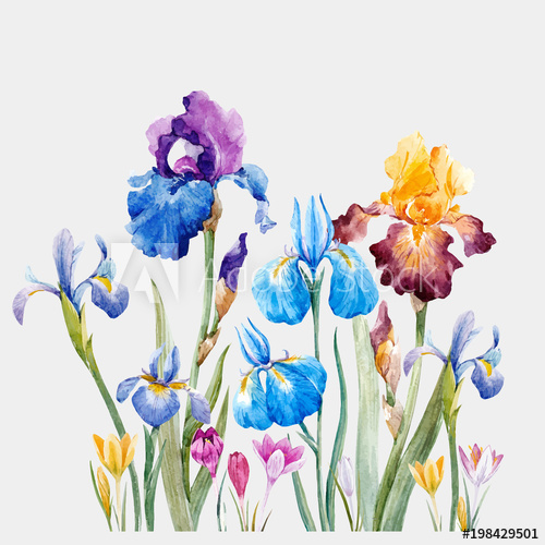 500x500 Watercolor Iris Vector Composition