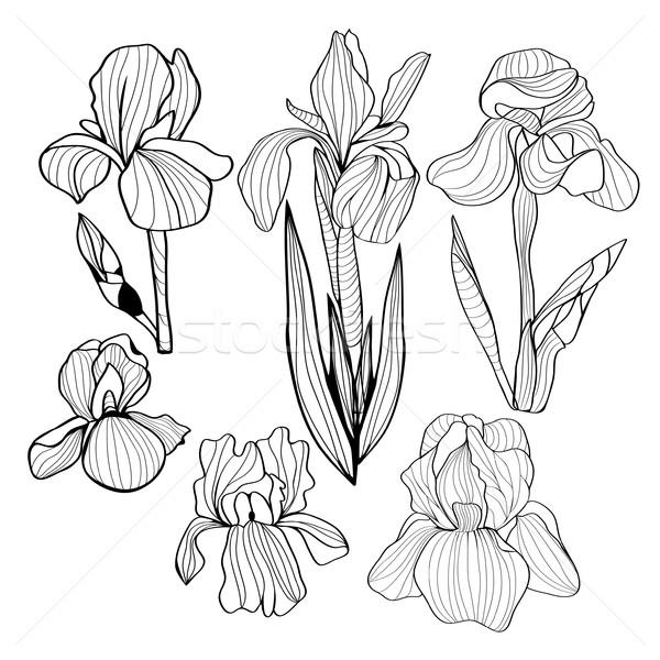 600x600 Blooming And Budding Iris Flowers Black And White Set Vector