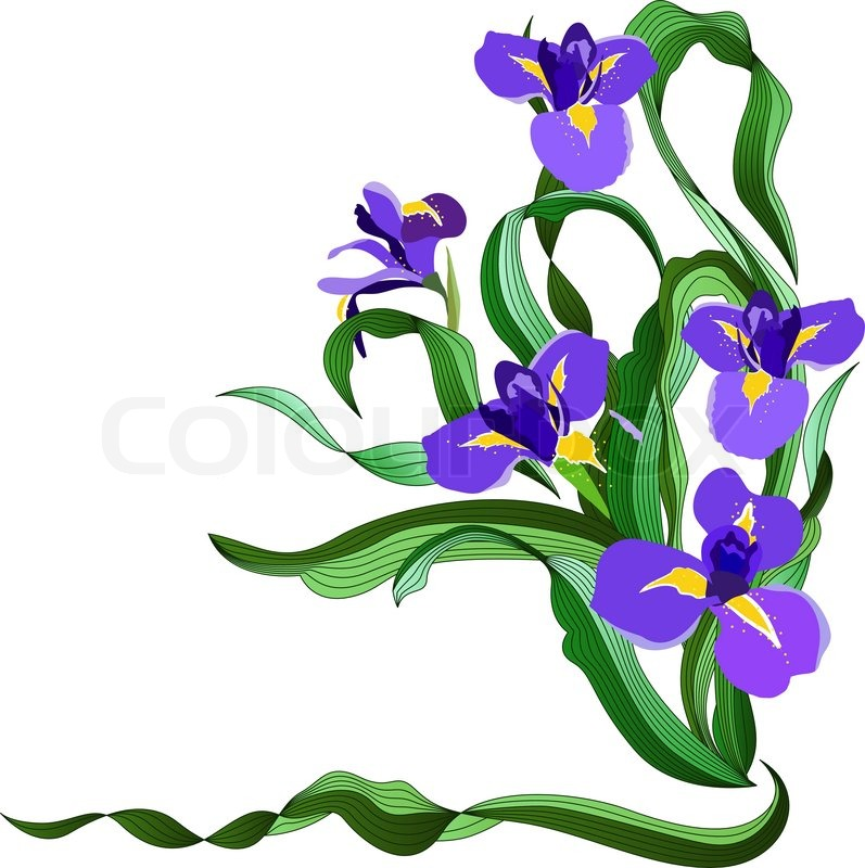 797x800 Bunch Of Blue Irises Isolated On White Background Stock Vector