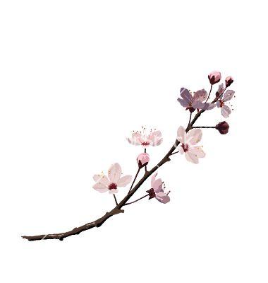 380x400 Cherry Blossom Vector Cherry Blossoms Cherry