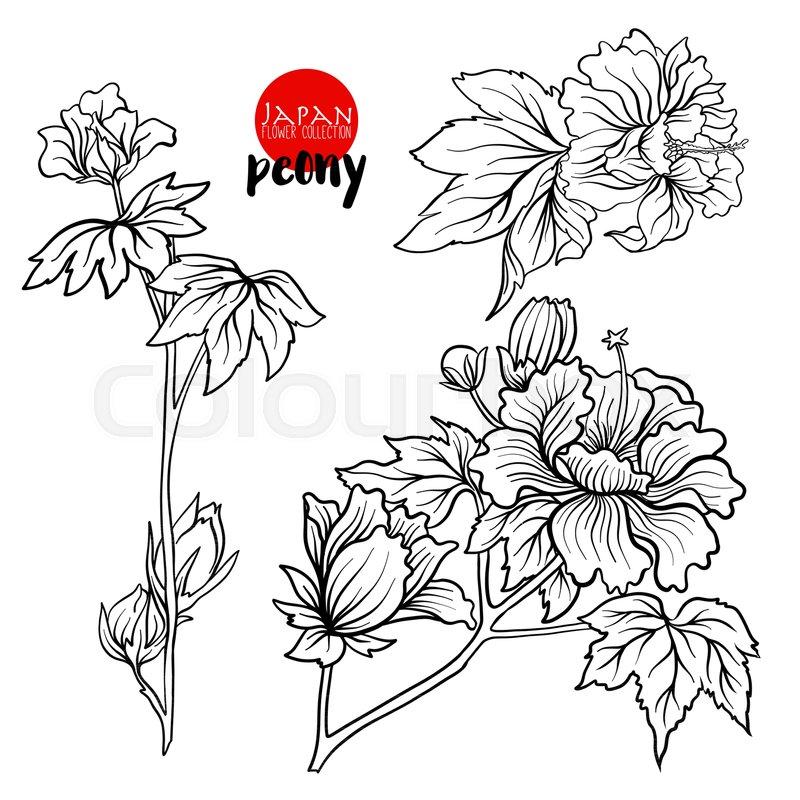800x800 Peony Flowers. Stock Line Vector Illustration Botanic Flowers
