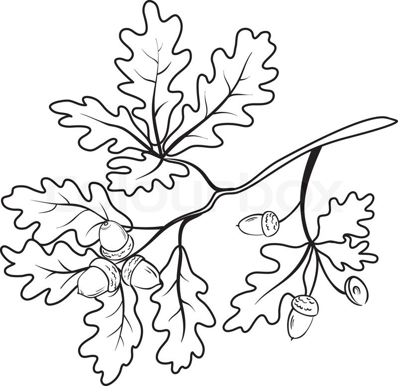 800x776 Oak Branch With Leaves And Acorns, Black Contour On White