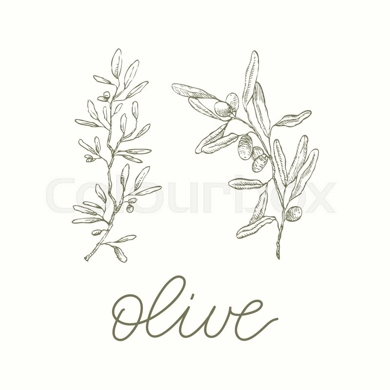 800x800 Olive Branches. Vector Calligraphy Green Colour Fresh Leaves