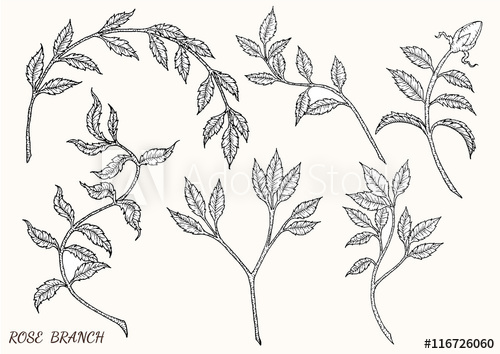 500x354 Rose Branch Vector By Hand Drawing.rose Leaf Set.