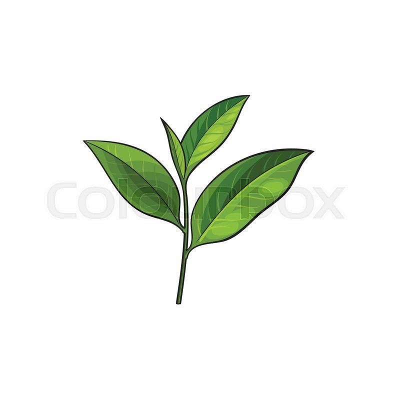 800x800 Vector Sketch Cartoon Style Green Tea Leaves Branch. Isolated