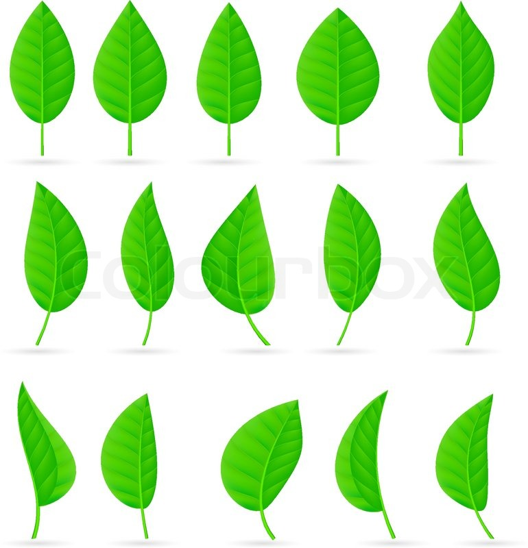 770x800 Various Types And Shapes Of Green Leaves Illustration On White