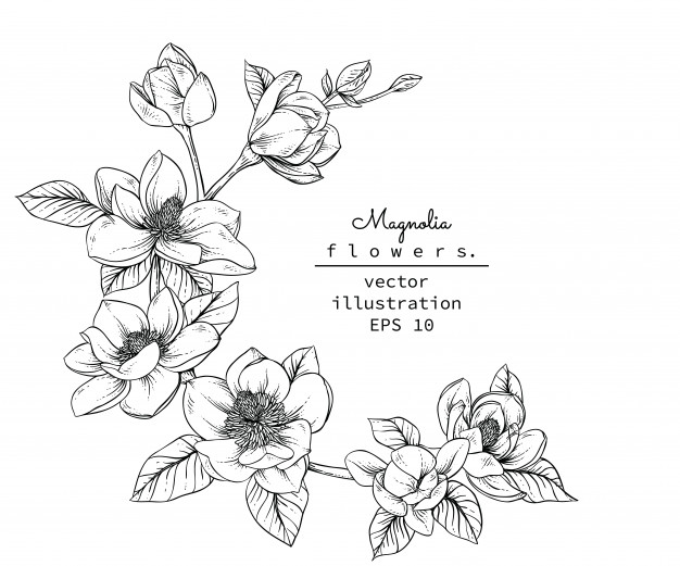 626x521 Magnolia Flower Vectors, Photos And Psd Files Free Download