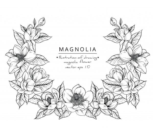 626x521 Magnolia Flower Drawings. Vector Premium Download