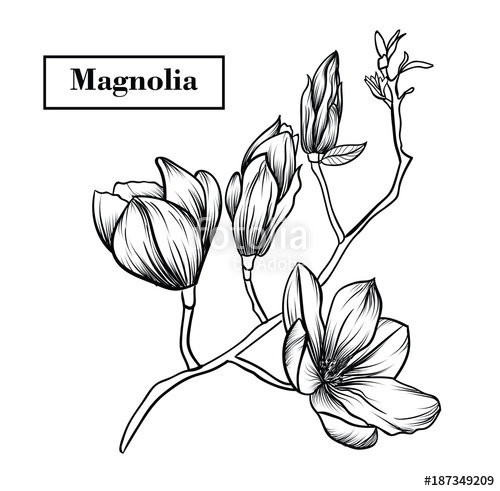 500x491 Magnolia Flowers Drawing.vector, Illustration And Clip Art On