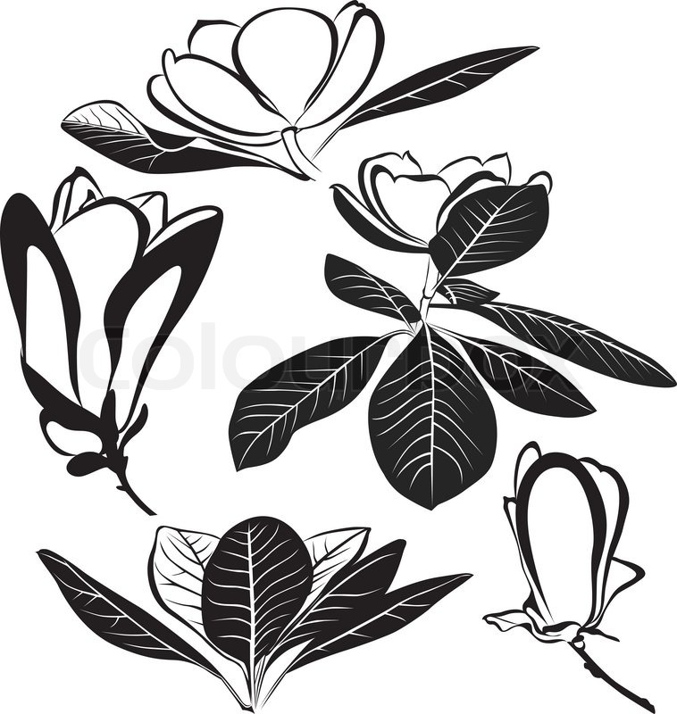 758x800 Magnolia Flowers Isolated On White Background Stock Vector