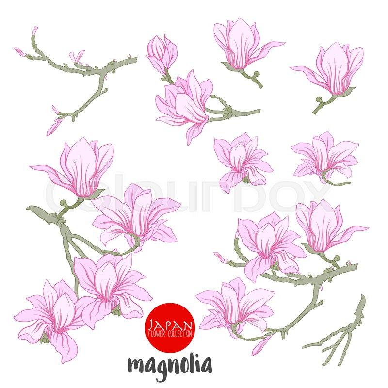 800x800 Magnolia Flowers On Branch. Stock Line Vector Illustration Botanic