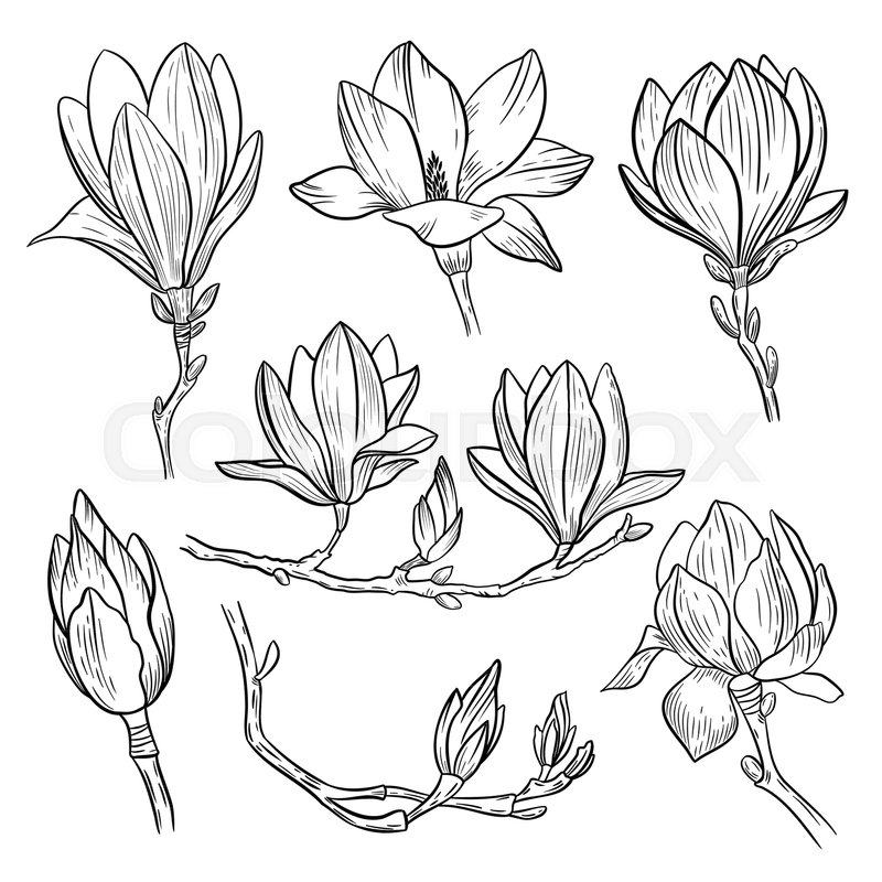 800x800 Magnolia Flowers. Hand Drawn Spring Blossoming Plant Elements