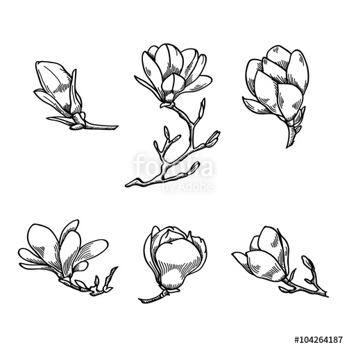 500x500 Spring Magnolia Flower Black And White Hand Drawn Vector Sketch