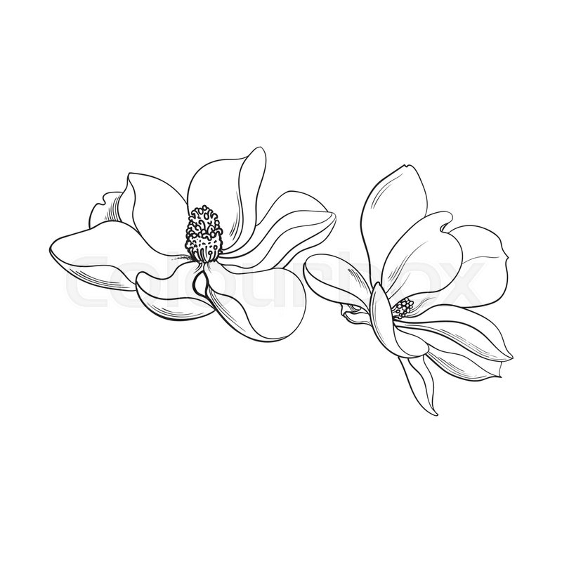 800x800 Two Magnolia Flowers, Sketch Style Vector Illustration Isolated On