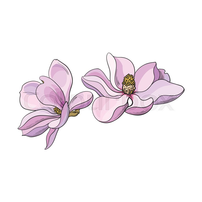 800x800 Two Pink Magnolia Flowers, Sketch Style Vector Illustration