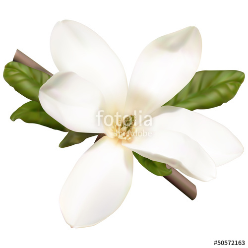 500x500 White Magnolia Flower Stock Image And Royalty Free Vector Files