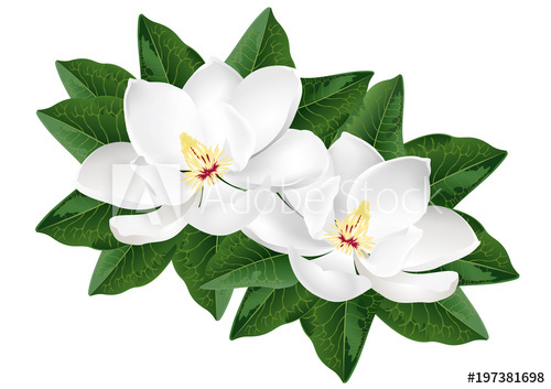 500x353 White Magnolia Flowers. Realistic Vector Illustration Isolated On