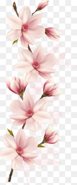 260x627 Magnolia Flower Png, Vectors, Psd, And Clipart For Free Download